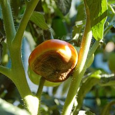 How to Prevent Blossom-End Rot, Blossom End Rot, Tomato Diseases, Calcium Deficiency, Tomato Problems: Gardener's Supply