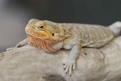 There are multiple species that are all considered Bearded Dragons in addition to Pogona vitticeps.