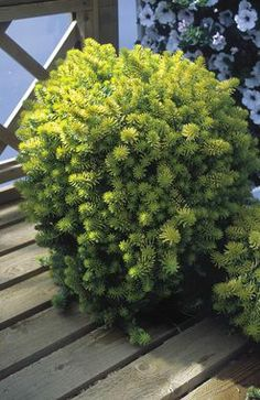 Sedum Angelina Type: Perennials,Groundcovers Height: Short (Plant apart) Bloom Time: Early Summer to Mid-Summer Sun-Shade: Full Sun to Mostly Sunny Zones: Find Your Zone Soil Condition: Normal, Sandy Flower / Accent: Yellow / Yellow Plants, Planting Flowers, Shrubs, Rock Garden, Container Plants, Perennials, Planting Succulents, Sedum, Garden