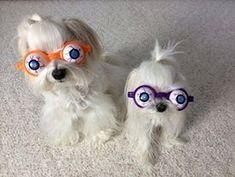 Too #funny! #Maltese #puppies
