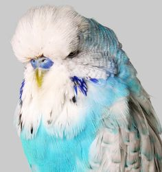 Budgerigar with Blue and White Feathers2