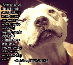 """Photo: Mark Evans goes on to say, """"When well cared for and properly trained they can make brilliant companions. Our experience suggests that problems occur when bad owners exploit the Staffie's desire to please by training them to show aggression.""""  A third of the dogs at the Battersea Dogs & Cats Home are staffies, which would be a shock to any staffie owner as they know what loyal, friendly and gentle companions they make.   http://www.katespetcorner.com/"""