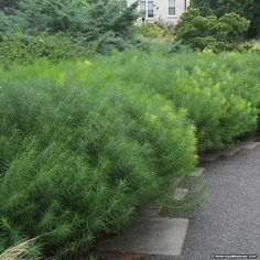 Hubrichtii is the perennial of the year for 2011. Pale blue star shaped flowers appear is late spring to early summer over fine, feathery foliage. Excellent golden yellow fall color.  (Amsonia)