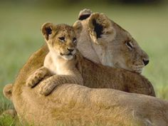cub-leaning-over-mother