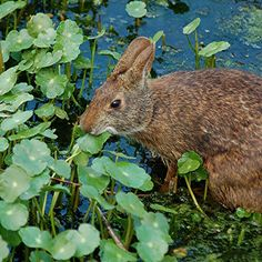The marsh rabbit (Sylvilagus palustris) is a small cottontail rabbit found in marshes and swamps of coastal regions of the Eastern and Southern United States. It is a strong swimmer and found only. Swamp Rabbit, Rabbit Names, House Rabbit, All About Animals, Like A Cat, Little Fish, Biomes, Baby Animals, Naturaleza