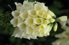 White Bell Flowers... <3