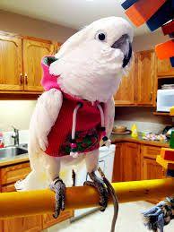 Image result for goffins cockatoo funny