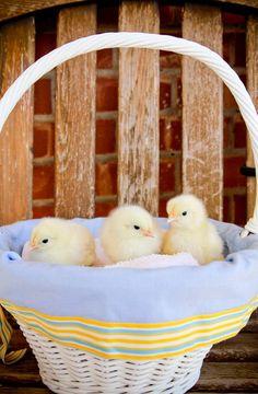 Spring ~ cute baby chicks