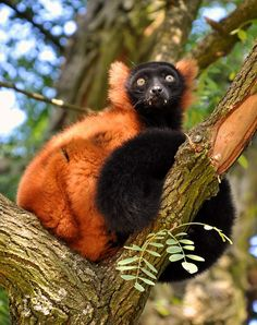 Red-ruffed Lemur by Michael Wilson