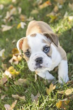 Puppy Love: Bisou the English Bulldog Puppy - Daily Dog Tag, ©️SunRae Photography Bulldog Puppies, Cute Puppies, Dogs And Puppies, Puppy Drawing, Puppy Care, Puppy Pictures, Animal Pictures, Cool Pets, Training Tips