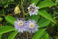 Native Florida Wildflowers: Purple passionvine - Passiflora incarnata