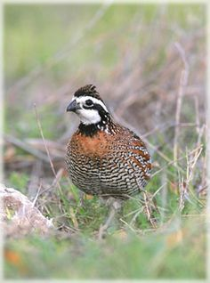 52 Best Bobwhite and Quails in Color images in 2018 | Quails