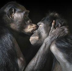 A série de imagens retrata um comportamento mais íntimo dos chimpanzés. Diatou e Cheka são flagrados se abraçando e se beijando (Foto: Tim Flach)