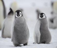 Emperor Penguins, Antarctica, Snow, Eyes, Let It Snow