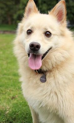 17 Best images about Rare Dog Breeds on Pinterest   Coats ...  Finnish Spitz Lab Mix