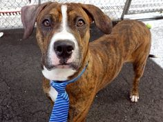 ★11/16/15 STILL THERE-A MOVING TARGET!!★SUPER URGENT 10/20/15★ Brooklyn Center CIARO  – A1049562  ***RETURNED 10/10/15***  MALE, BR BRINDLE / WHITE, PIT BULL MIX, 1 yr RETURN – ONHOLDHERE, HOLD FOR ID Reason PERS PROB Intake condition EXAM REQ Intake Date 10/10/2015, From NY 11221, DueOut Date 10/10/2015,