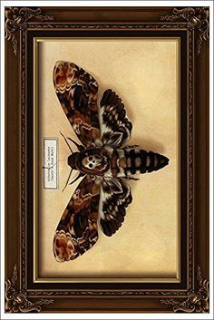 Get a hi-res image print it and put in a shadow box Deaths Head Moth, Sphinx, Hawk Moth, Butterfly Photos, Beautiful Bugs, Insect Art, Body Art Tattoos, Tattoo Drawings, Botanical Illustration