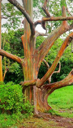 Rainbow Eucalyptus Trees in Maui! So amazing! Click through to see 27 of the most incredible places in Hawaii!