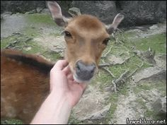 A friendly deer enjoys being scratched! Animated!