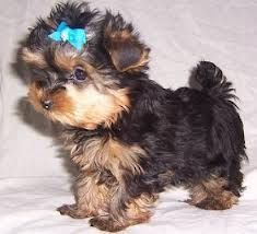Female Tiny Teacup Yorkie AKC Yorkshire Terrier Puppy i need her, she needs me. she'd have a zillion little bows :-) Teacup Yorkie, Teacup Puppies, Yorkie Puppy, Puppies And Kitties, Cute Puppies, Cute Dogs, Yorkshire Terrier Haircut, Yorkshire Terrier Puppies, Cheap Dog Food