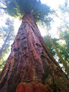 Picture taken in Santa Cruz, CA one of the many beautiful redwood trees