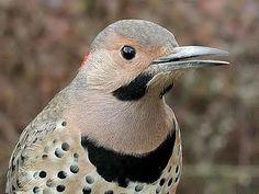 Northern Flicker – State Bird of Alabama «