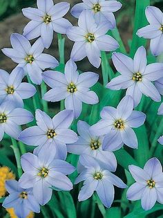 Spring starflower Brodiaea uniflora