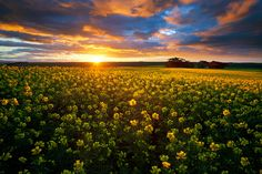 landscape photograph of blooming canola fields under a bright sunrise in the overberg