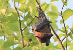 Discovering the Stunning Biodiversity of the Maldives, Baa Atoll  #fruitbat #animals #travelphotography #bat #maldives #indianocean