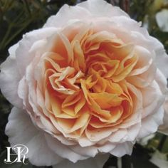 """Ginger Syllabub™A vigorous continual blooming climbing rose, which has amber colored 4"""" blooms (petals 70+) that exude an exquisite perfume on the breeze."""