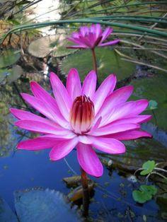 Nenúfar: La flor sagrada | Questionarte