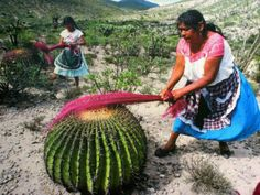 "Photo only. Barrel Cactus carding in Mexico. Otomi women (an indigenous ethnic group inhabiting the central altiplano of Mexico) from the Mezquital Valley, en Hidalgo, México, make scouring brushes and bags with the fibers of maguey (a type of agave). First they collect the leaves, burn them and beat them to separate the fibers from the tough outer tissue. The fibers are washed, dyed, dried and ""combed"" on the thorns of the barrel cactus. México Megadiverso Fotografía: Fulvio Eccardi"