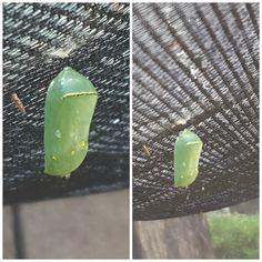 Seguimos monitoreando el proceso de metamorfosis. Nuestra larva ya se transformó en crisálida (pupa)