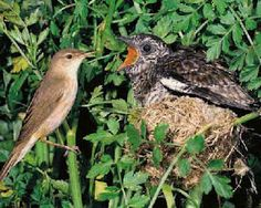 Baby cuckoo in a nest, looking gigantic by comparison to its foster mother.
