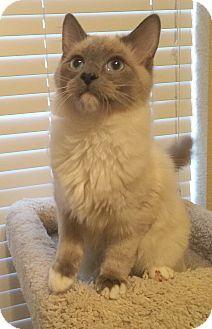 Plano Tx Ragdoll Meet Versace A Cat For Adoption Http Www