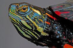 уход за домашней черепахой