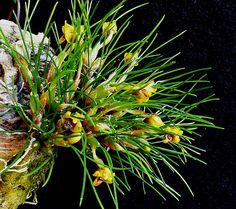 Maxillaria vitelliniflora