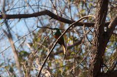 Foto ariramba-de-cauda-ruiva (Galbula ruficauda) por Evaldo Nascimento | Wiki Aves - A Enciclopédia das Aves do Brasil