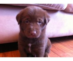 Chocolate Lab Siberian Husky!! Overly cute