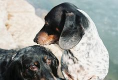 Dachshund Maggie and Joey 3-11-2007 by cbording, via Flickr