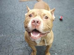 TO BE DESTROYED 2/24/14 Manhattan Center. My name is HOWARD. My Animal ID # is A0991928.I'm a male tan pit bull. The shelter thinks I'm about 3 YRS.  The volunteers gave him rave reviews! Sweet, loves to play ball, listens, gentle and easy. His tail wags easily, he sits when asked to, takes treats gently.  He loves meeting new people & likely house trained. He's a sweet, calm and friendly fellow hoping to meet his BFF today. Howard is such a dignified name and he wears it well!