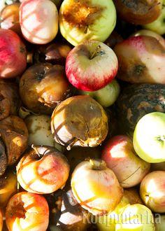 Muumiotauti aiheuttaa hedelmiin ruskeita laikkuja. Omena mätänee nopeasti ja kuivettuu mustaksi koppuraksi. Kerää muumio-omenat maasta ja puusta, kun ne ovat ruskeita ja pehmeitä. Silloin hedelmät ovat oivaa ravintoa hajottajille ja ne kompostoituvat nopeasti. Linkin takaa löytyvästä jutusta löydät lisävinkkejä muumiotaudin selättämiseen. Vegetables, Food, Essen, Vegetable Recipes, Meals, Yemek, Veggies, Eten