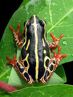 Common reed frog (Hyperolius viridiflavus)