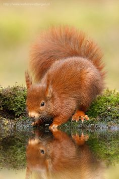 Red Squirrel....I'll get a drink after I'm done admiring myself