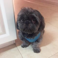 Shih Tzu … Phillipe