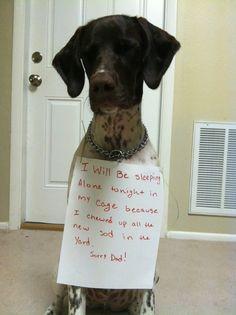 gsp dog shame too funny
