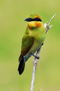 Getting the bird in focus is paramount: a lovely out-of-focus (bokeh) background is desirable but often impossible when stalking in the fi. Pretty Birds, Beautiful Birds, Animals Beautiful, Exotic Birds, Colorful Birds, Cute Baby Animals, Animals And Pets, Bee Eater, Mundo Animal