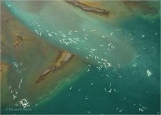 Every year thousands of belugas migrate to Cunningham Inlet from hundreds of miles away to have a body scrub in the shallows.