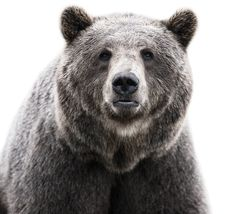 Urso referência