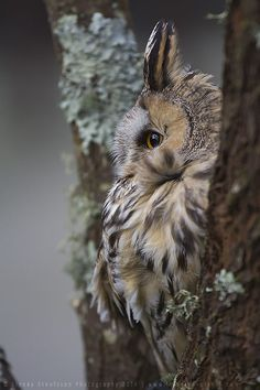 Long-eared Owl by linneaphoto on DeviantArt. Oh my, side view of the owl look like Totoro :) Beautiful Owl, Animals Beautiful, Cute Animals, Owl Photos, Owl Pictures, Owl Bird, Pet Birds, Nocturnal Birds, Long Eared Owl